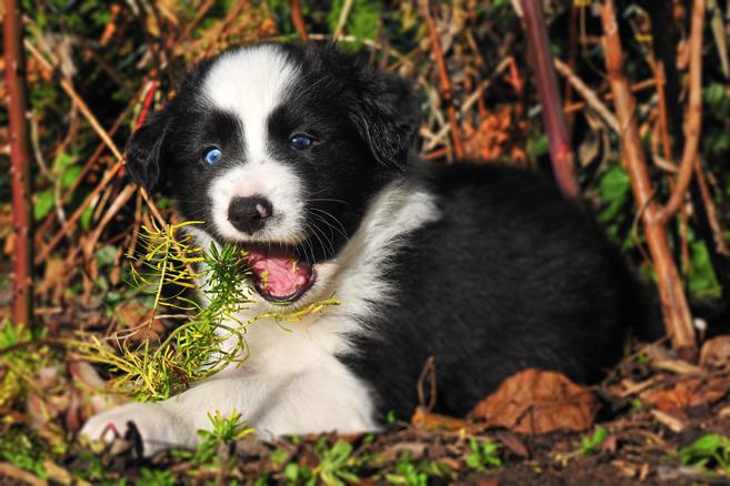 Hundewelpe frisst Pflanzen